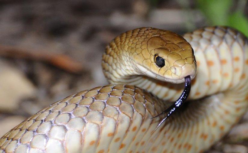 Elderly couple find deadly snake in dining room